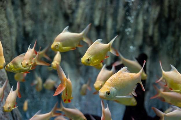 Thai golden carp fish in thailand river
