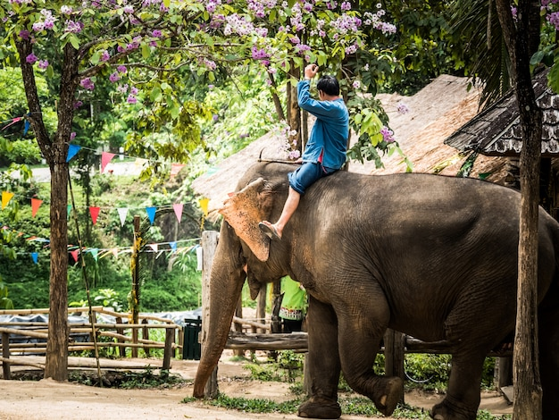 Thai mahout riding elephant to service traveler at thai elephant conservation center .
