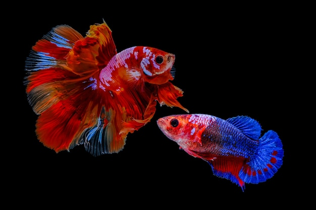 Thai male and female betta fish on a black background