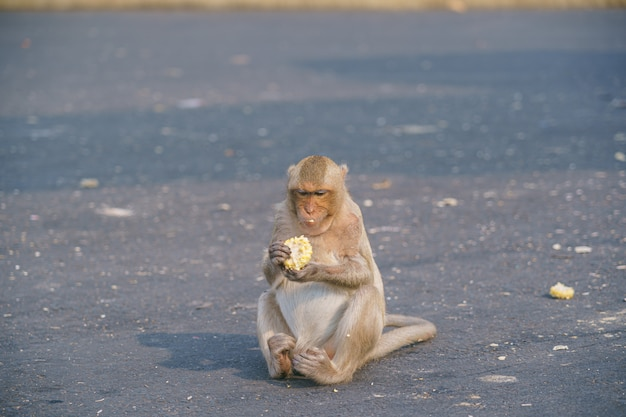 A thai monkey or crab-eating macaque, macaca fascicularis raffles eating bananas