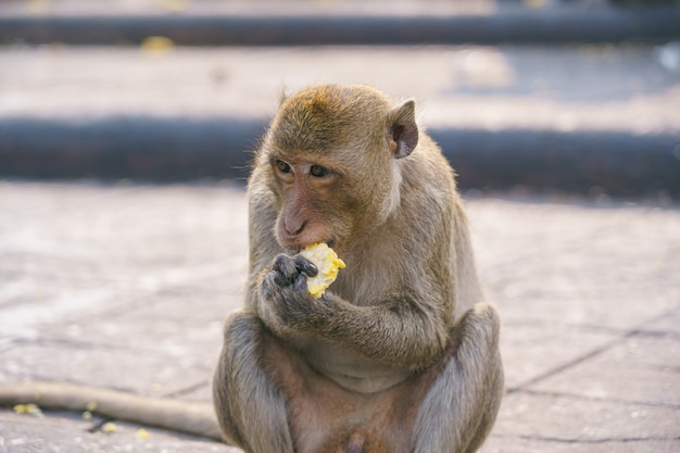 A thai monkey or crab-eating macaque, macaca fascicularis raffles