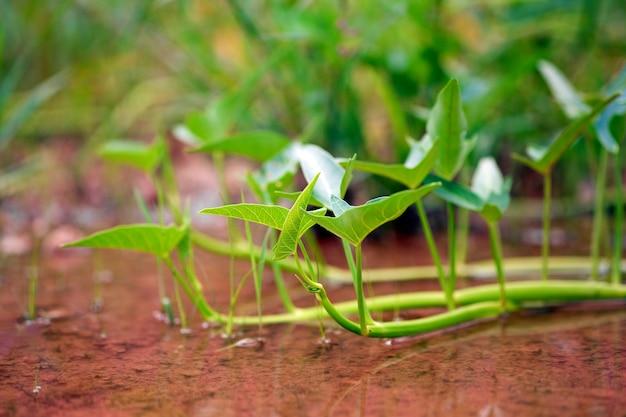 Тайская ипомея или тайские водные вьюнки естественным образом растут в спокойной воде.