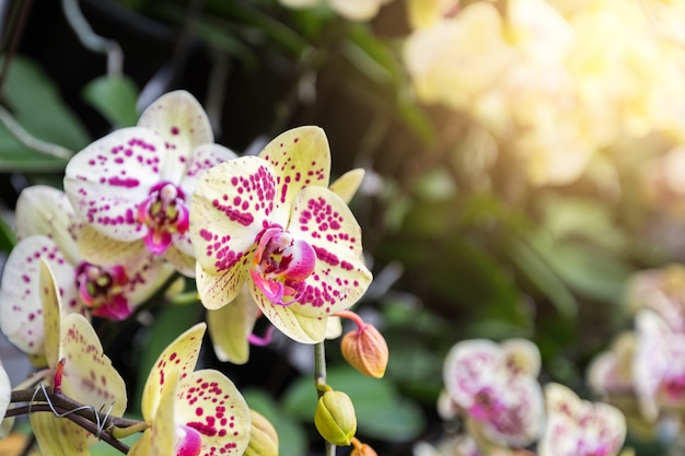 Thai orchids have highly decorative flower spikes. cymbidium orchids in tropical garden.