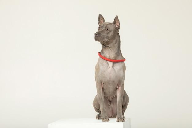 灰色の壁の前に立つタイ・リッジバック・ドッグ