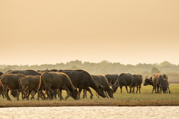 Thai swamp buffalo in peat swamp around lagoon