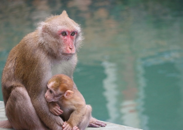 Thai wild red face mommy and baby monkey sitting near the river.