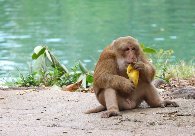 Thai wild red face monkey sitting on the ground and eating banana.