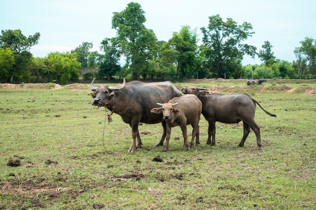 Thailand buffaloes in rice field