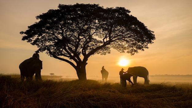 태국 시골; 일몰, 수린 태국에서 태국 코끼리의 배경에 실루엣 코끼리.