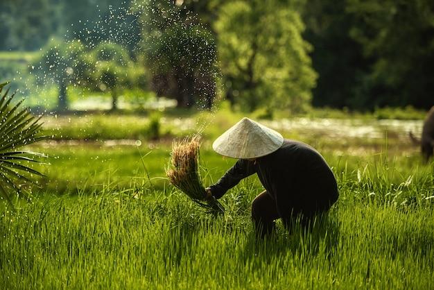 Фермеры таиланда сажают и выращивают рис в сезон дождей