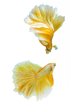 Thailand fighting fish in gold color on isolate  background