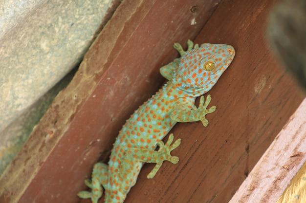Thailand gecko on wall