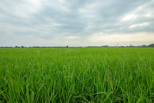 Thailand green field, wide angle