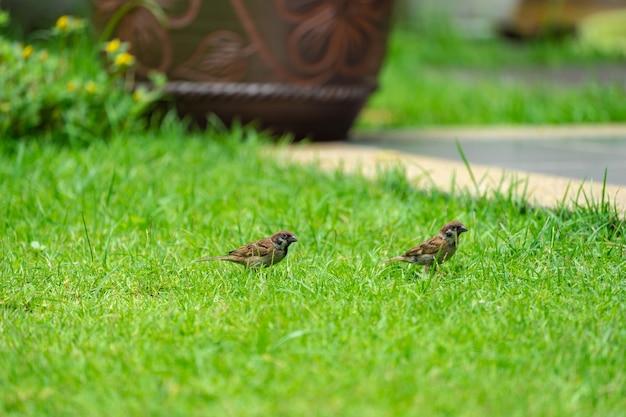 태국 graden 및 공원에서 작은 갈색 참새 새.