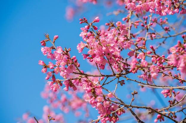 タイの桜、青い空を背景に桜の花