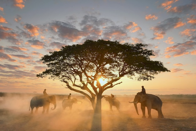 Таиланд, погонщик и слон на рисовом поле во время восхода пейзажа, силуэт слона на фоне восхода солнца