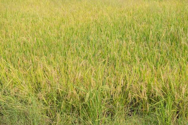 タイの伝統的な稲作。秋の稲作風景。田んぼと空。水田の耳にタイの米の種。美しい田んぼと稲の穂雲と空を背景に朝日。