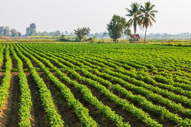 Thailandの農村でピーナッツを植えること。