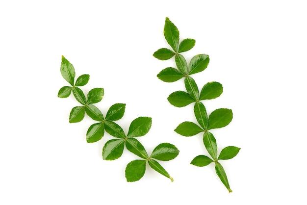 タナカ緑の葉が分離されました。上面図、フラットレイ。