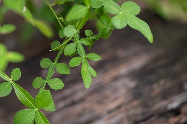 タナカ緑の葉。