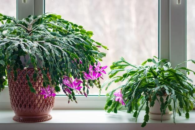 Кактус на день благодарения schlumbergera truncata или крабовые кактусы зимой