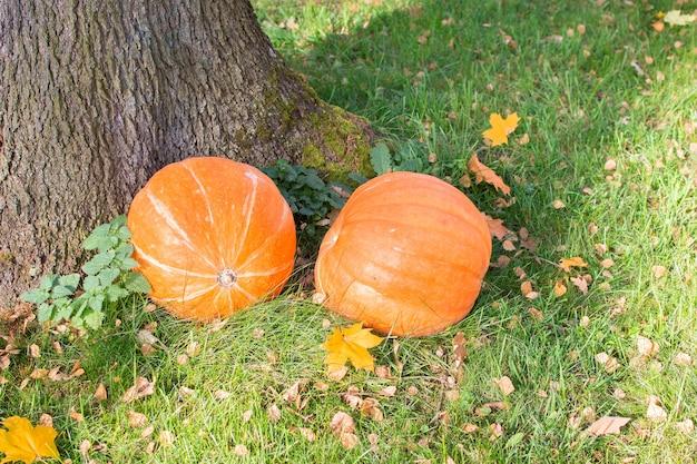 День благодарения. осенний парк оранжевых тыкв на траве. концепция осеннего времени