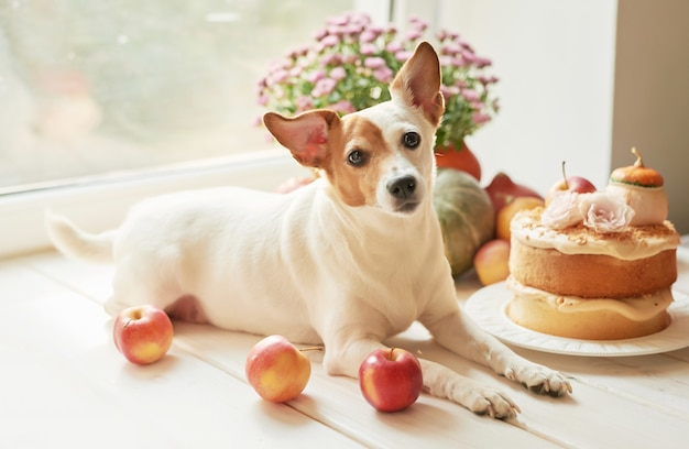 Thanksgiving, dog jack russell terrier with a naked cake with pumpkins and flowers for halloween