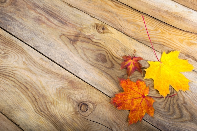 Thanksgiving  with three fall maple leaves, copy