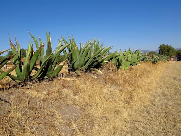 メキシコのリュウゼツランサボテン