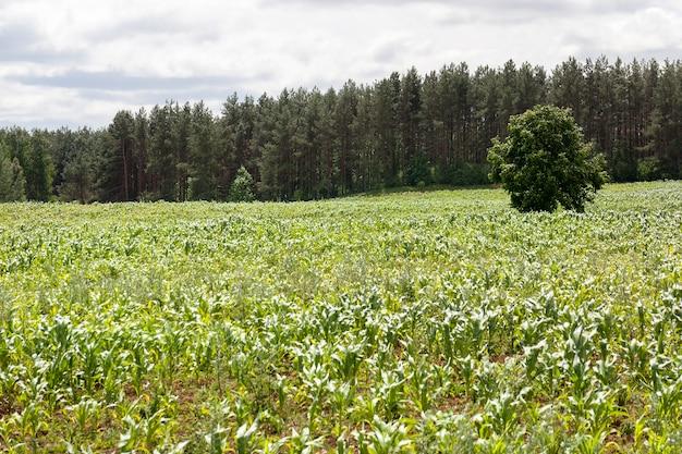 초여름에 녹색 옥수수가 자라는 농경지는 아직 미성숙