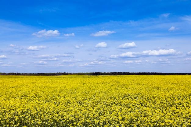 黄色いカノーラが咲く農地。春の季節