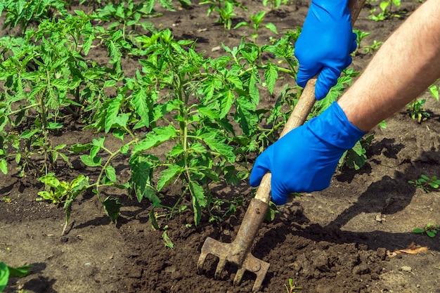 Агроном разгребает землю вокруг помидоров