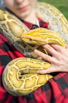 Змея-альбинос python molurus - большой неядовитый питон. часто это домашнее животное.