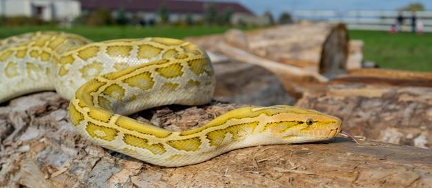Змея-альбинос python molurus - крупный неядовитый питон