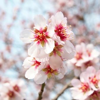 Миндальное дерево розовые цветы с ветвями
