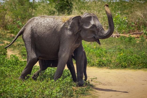 アジアの大人と赤ちゃんの象がピンナワラの象の孤児院を歩いています。スリランカのピナワラ村。人間の保護下にある野生動物。
