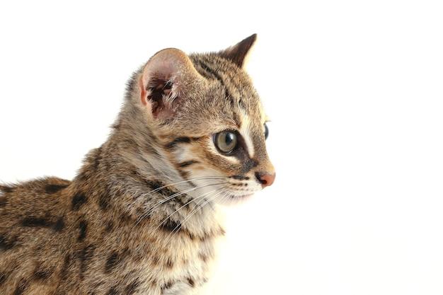 白で隔離されるアジアのヒョウ猫