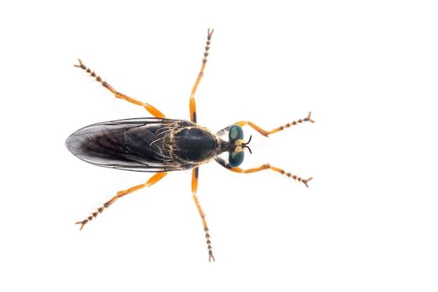 Asilidae는 어쌔신 파리라고도 불리는 강도 파리 가족입니다. 평면도에서. 곤충. 동물