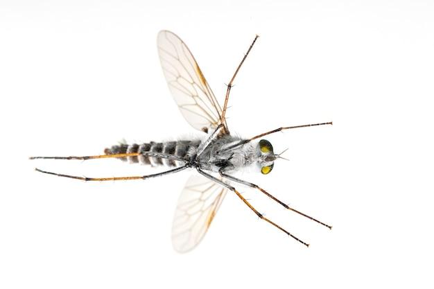 Asilidae는 어쌔신 파리라고도 불리는 강도 파리 가족입니다. 바닥에서 봅니다. 곤충. 동물