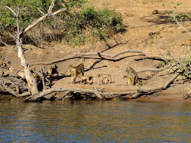 ザンボジ川、ボツワナ、アフリカの海岸のヒヒ