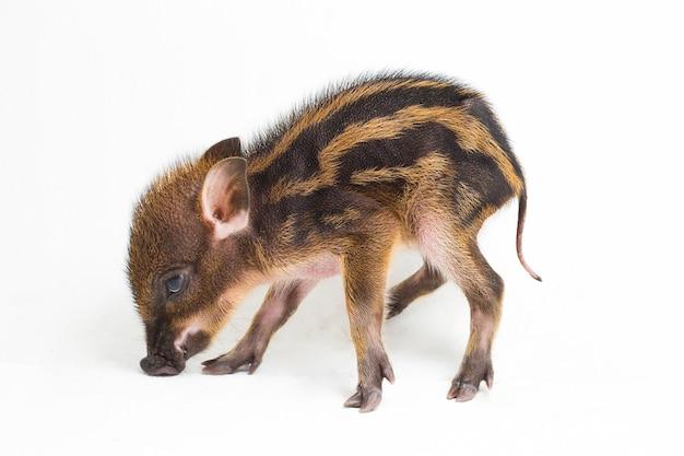 インドネシアのイノシシとしても知られている赤ちゃんの縞模様の豚(sus scrofa vittatus)