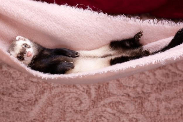 아기 페럿이 자고 있다
