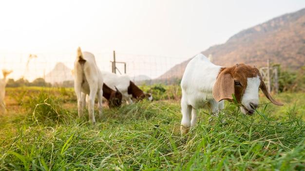 Козлята на ферме едят траву, чтобы перерасти в молочных коз.