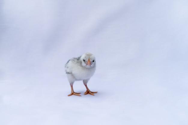 赤ちゃんハンバーグひよこはドイツとオランダで認識されています。それは白い布の上に立って孤立しています。