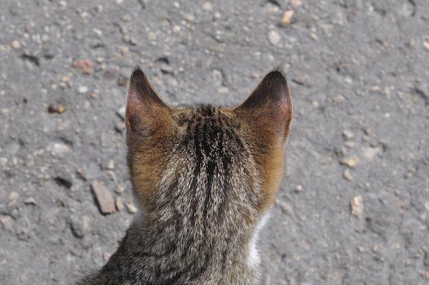 Задняя часть головы полосатого кота на фоне дороги.