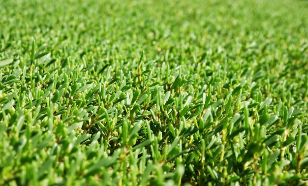 На фоне ухоженных зеленых кустов