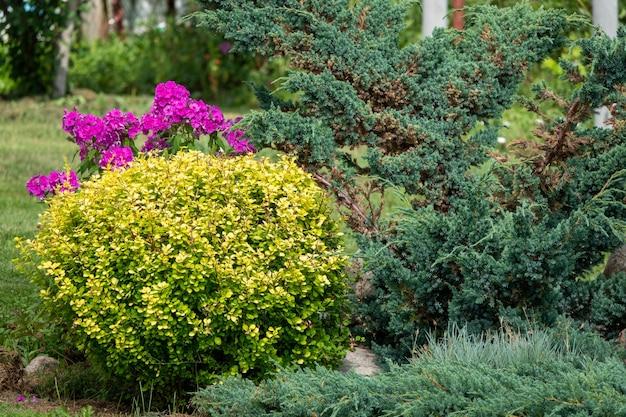 집 벽 앞의 덤불과 식물 그룹이 있는 뒤뜰: 주니퍼, 플록스, 모란, thuja, 매자나무. 정원 디자인