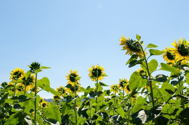 夏の澄んだ青い空の下にひまわりが並ぶ裏側