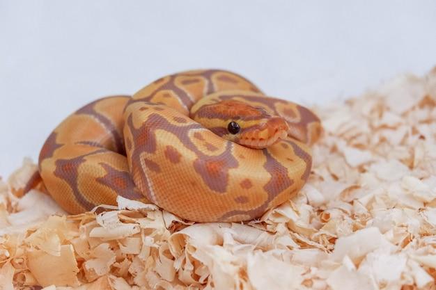 Змея python banana ball