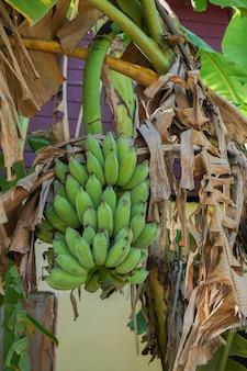 Банановое дерево в саду рядом с домом.
